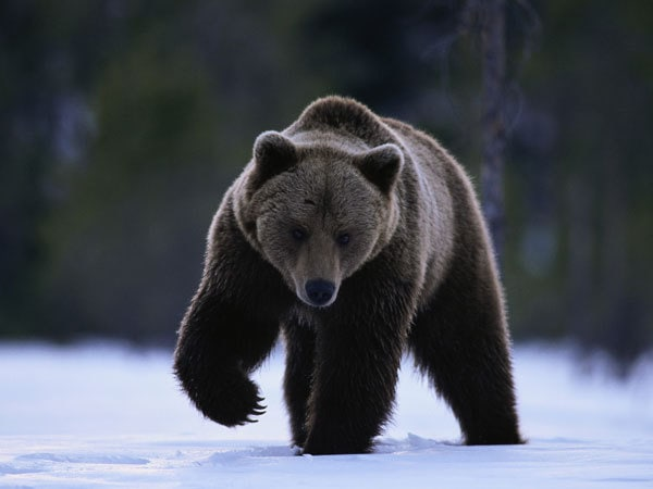 Grizzly Bear in Winter