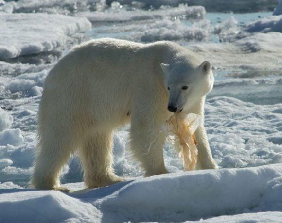 Polar Bear with Plastic
