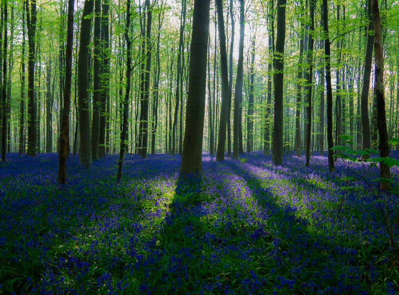 Hallerbos Bluebell Wood After Sunrise by Christopher Couckuyt Flickr