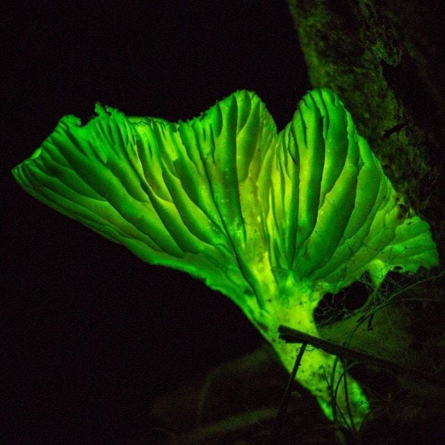 Neonothopanus gardneri or Coconut Flower mushrooms