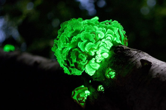 Top 7 Amazing Glow in The Dark Mushroom – With Photo and Video