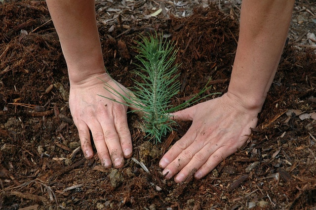 Planting Tree by USFS Region 5 Flickr