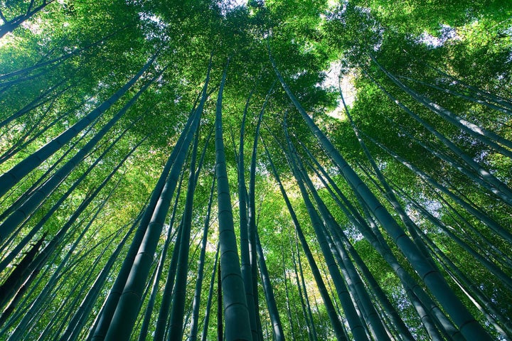 Sagano Bamboo Forest Casey Yee