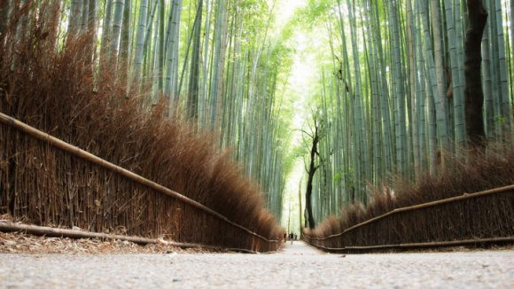 Sagano Bamboo Forest Conifer