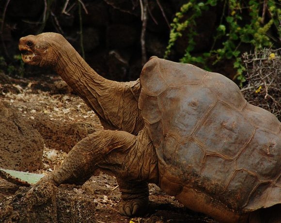 Lonesome George (Wikimedia Commons)