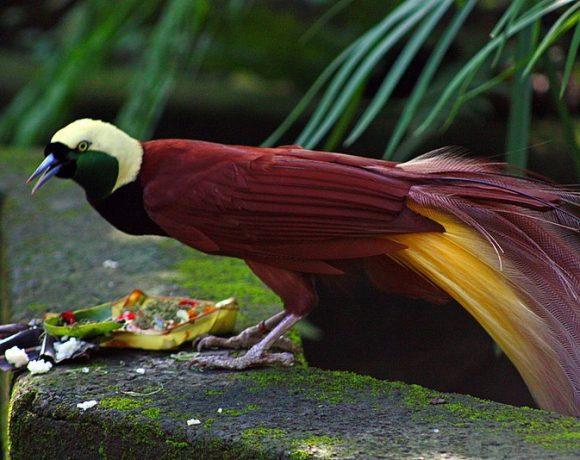 Paradisaea apoda - Bali Bird Park (Wikimedia Commons)