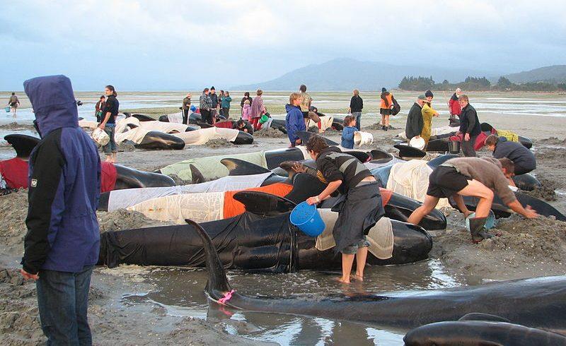 Why Do Whales Come Ashore Just To Get Beached Time To Time?