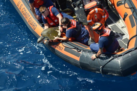A crew from Coast Guard Cutter Thetis releases the turtle after freeing him from debris. (U.S. Coast Guard photo)