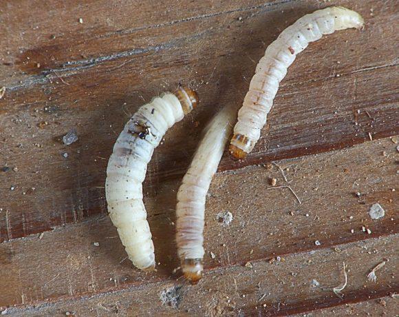 Achroia grisella caterpillars kleine wasmot rupsen (Wikimedia Commons)