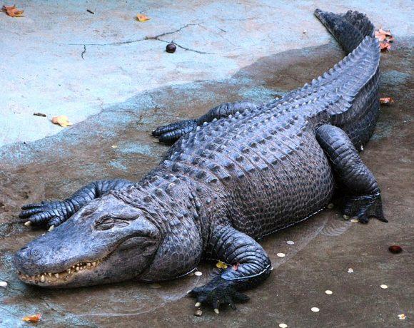 Alligator by PetarM