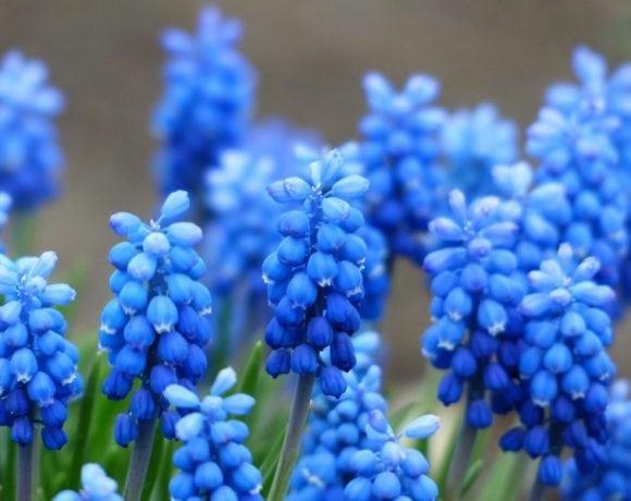Blue Grape hyacinth (Pxhere.com)