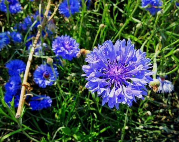 Blue cornflower (Pxhere.com)