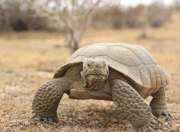 Dessert Tortoise (Bureau of Land Management)