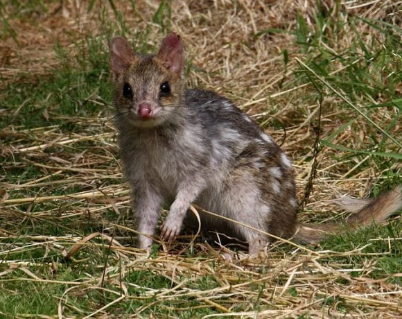 Eastern Quoll (Wikimedia Commons)