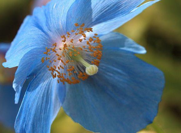 Himalayan Blue Poppy Meconopsis betonicifolia by Tanaka Juuyoh