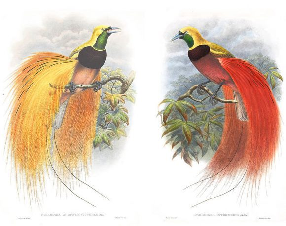 John Gould & William Matthew Hart - Birds of Paradise from Birds of Asia (Wikimedia Commons)
