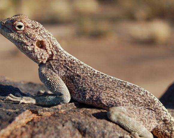 Lizard, Southern Namibia (Sara&Joachim)