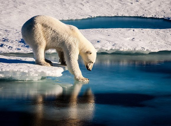 Polar Bear by NASA