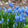 10 Astonishing Blue Flowers For Your Garden