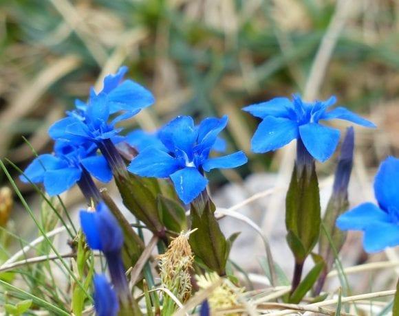 spring gentian (Pxhere.com)