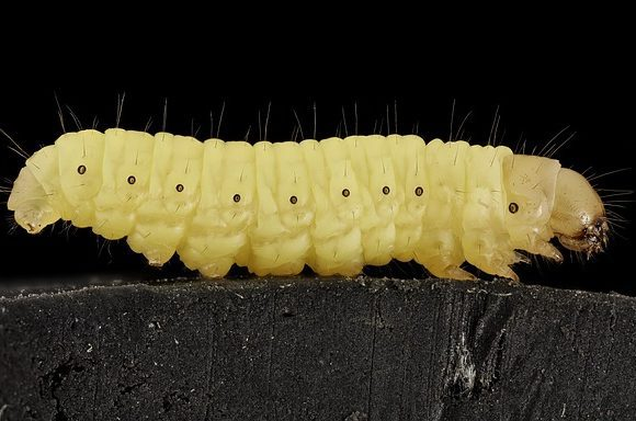wax worm (Wikimedia Commons)
