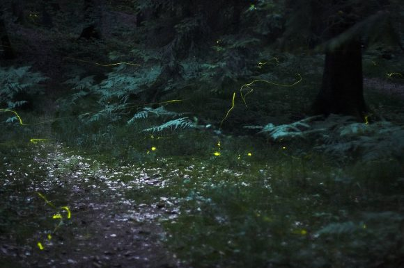 Fireflies in the forest near Nuremberg Wikimedia Common