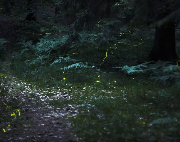 Fireflies in the forest near Nuremberg (Wikimedia Common)