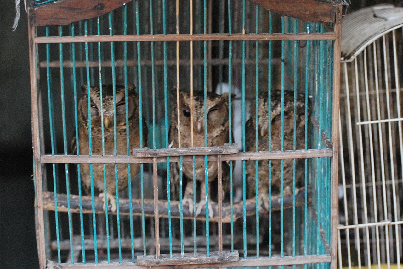 owlets in Illegal trade