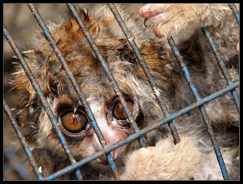 Slow loris caged in a wretched condition