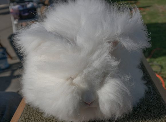 angora rabbit by vhines200