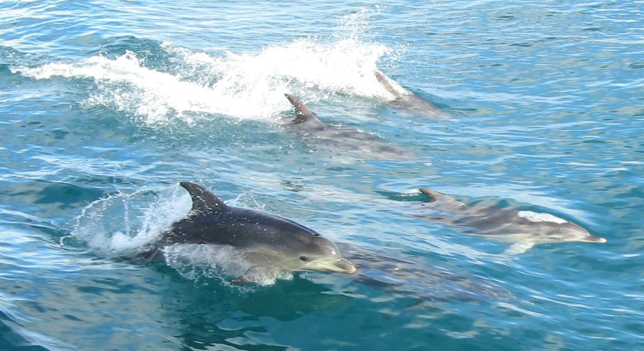 dolphins swimming in the ocean