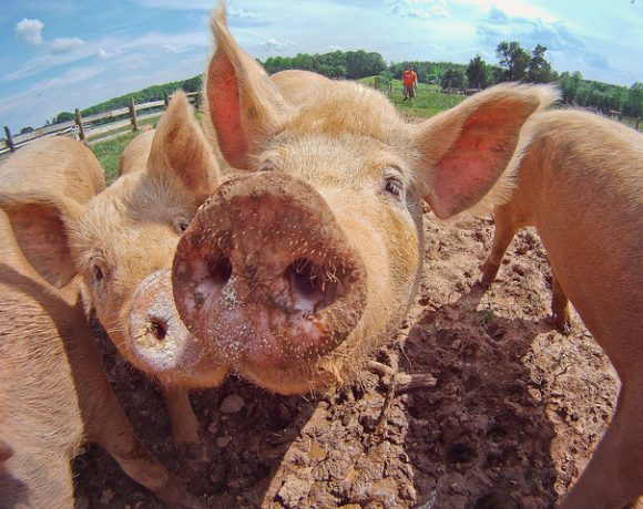 Pigs at Keenbell Farm