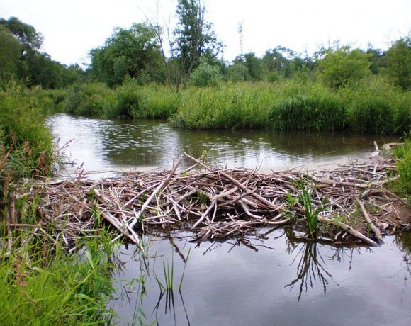 Beaver dam by Hugo.arg