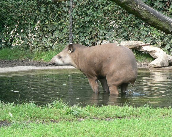 Image result for Image of a tapir walking in water