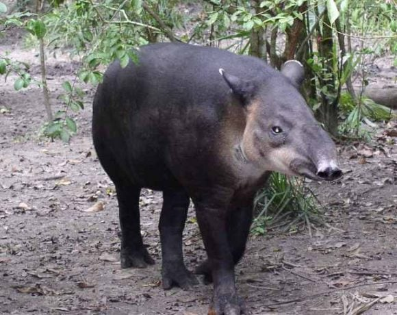 Central American Tapir (Wikimedia Commons)