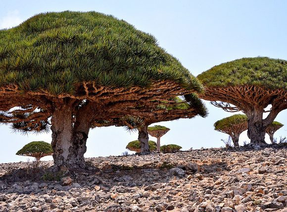 Dragon blood tree by Rod Waddington