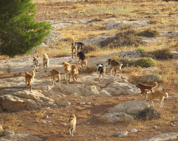 Feral dogs in palestine (Wikimedia Commons)