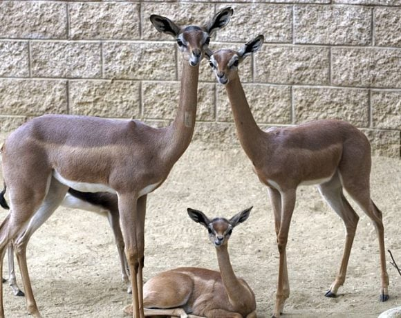 Gerenuk Family (Wikimedia Commons)