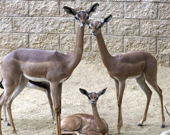 Gerenuk Family (Wikimedia Commons)