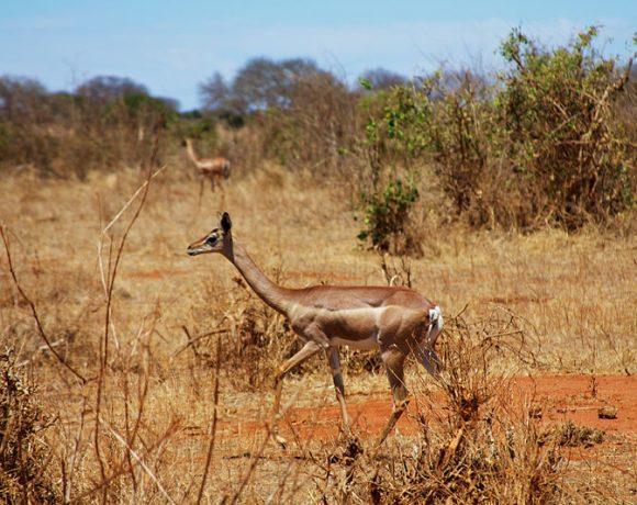 Gerenuk antelopes in Tsavo East by McKay Savage
