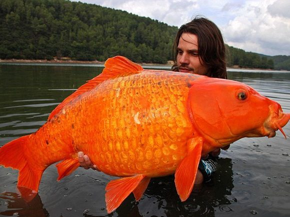 Giant goldfish (Flickr)