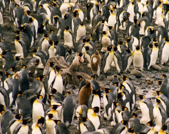 Giant petrel and king penguins (Wikimedia Commons)