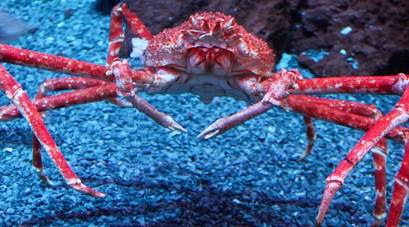 Japanese Spider Crab by Anthony