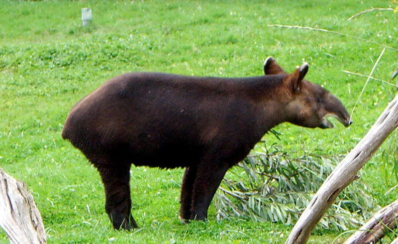 Tapir, The Animal Who Can Save Us From Global Warming