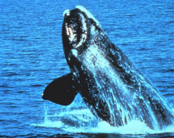 North Atlantic Right Whale (NOAA)