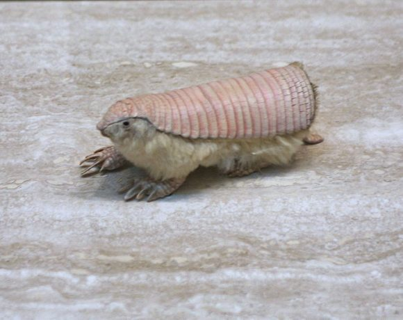 Pink Fairy Armadillo (Wikimedia Commons)