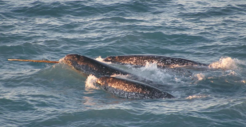 Narwhals, The Swimming Unicorns Of The Arctic Ocean