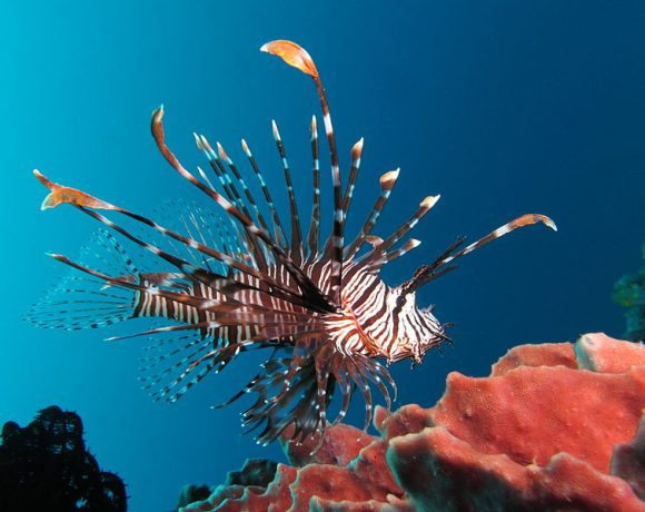 Red lionfish by Alexander Vasenin