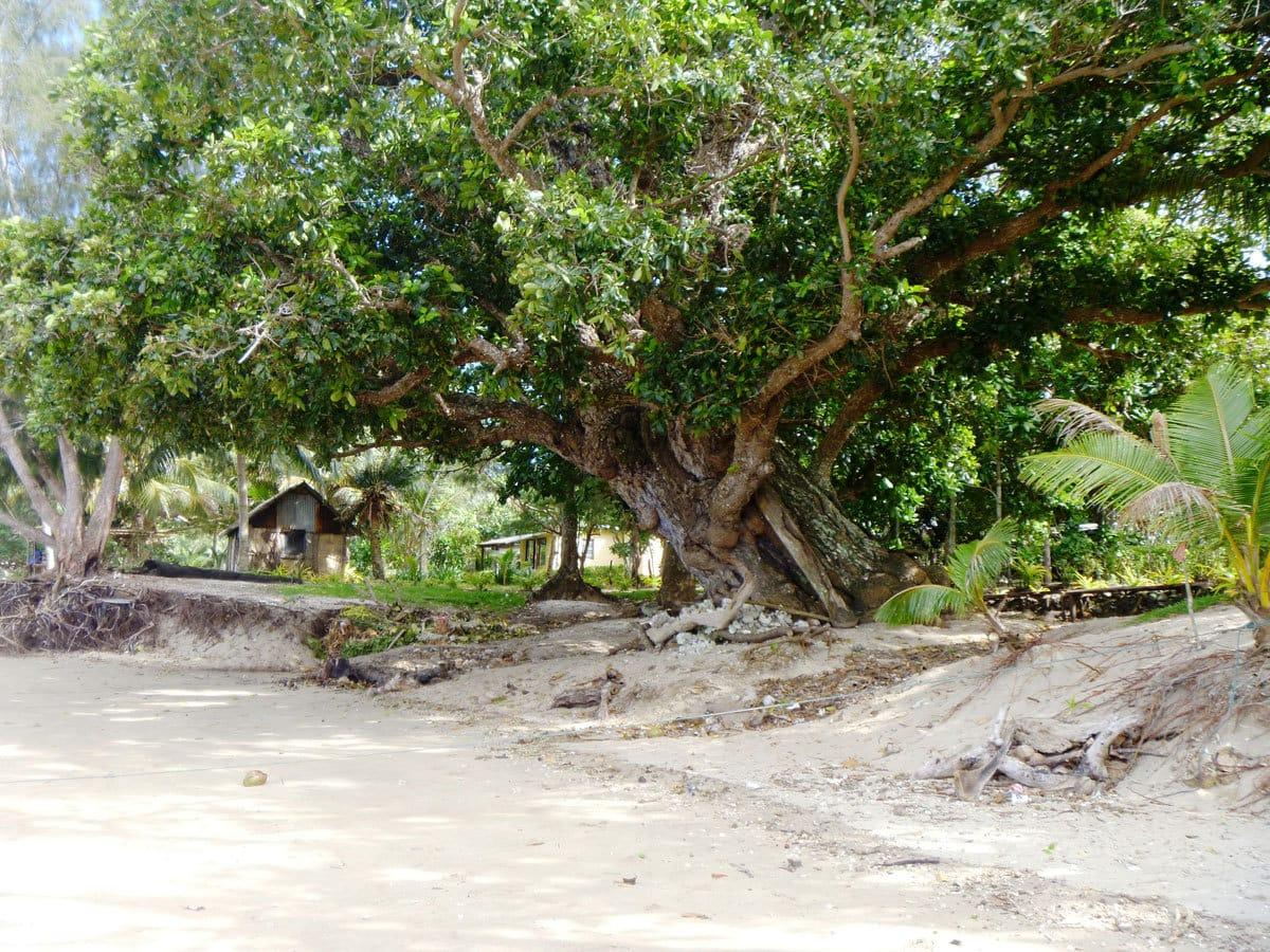 Vanuatu Tamanu Tree