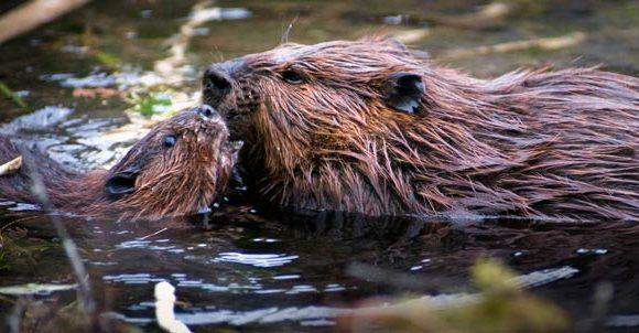 beaver by Kent Miller